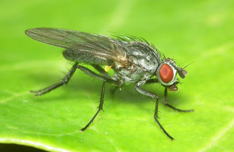 Изображение Лиственничная муха