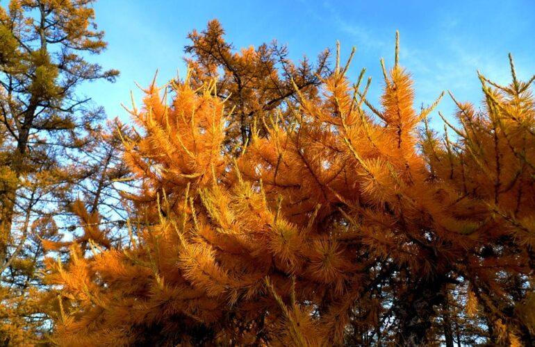 Изображение Пожелтение и побурение хвои лиственницы