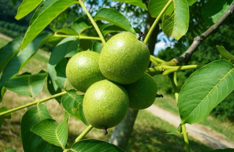 Изображение Прививка грецкого ореха зимой и летом