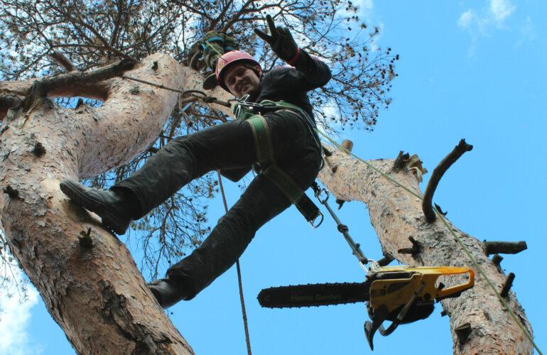 Изображение Как правильно свалить дерево бензопилой