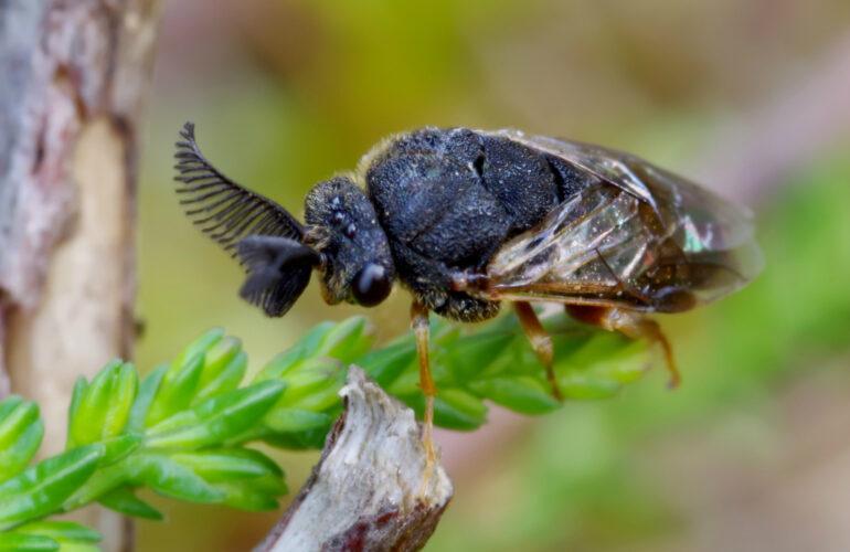 Изображение Обыкновенный сосновый пилильщик