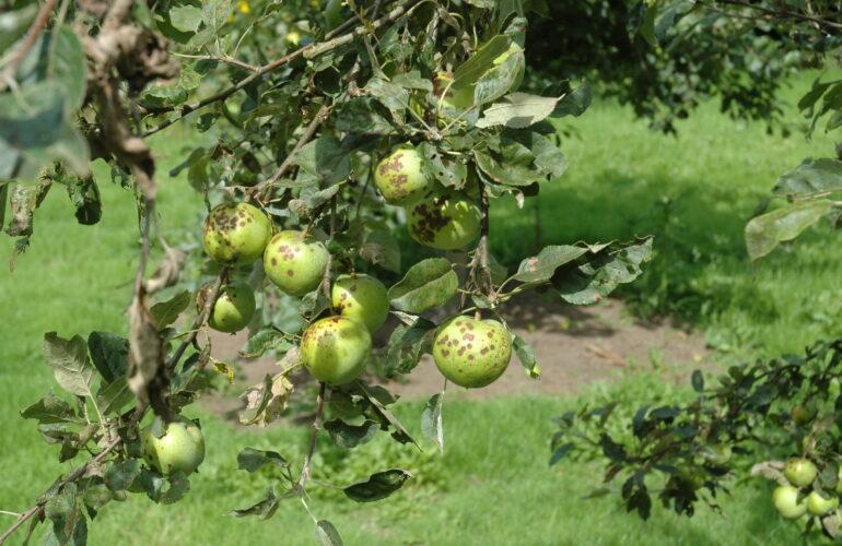 Изображение Как избавиться от парши на яблонях
