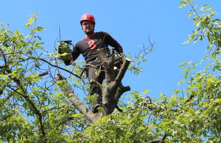 Изображение Топпинг – обрезка верхушек деревьев
